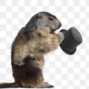 Beaver Hat - Groundhog Alpine Marmot Rodent Stock Photography PNG