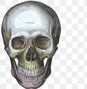 Skulls - Gray's Anatomy Human Skull Bone PNG