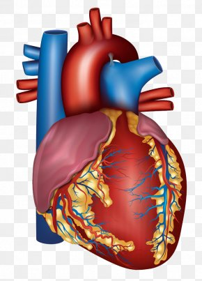 Human Heart - Blood Vessel Heart Circulatory System Artery Health PNG