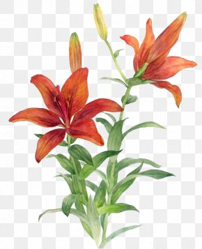 Red Lily - Lilium Bulbiferum Red Flower PNG