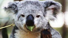 Koala - Koala Marsupial Animal Mammal Diprotodontia PNG