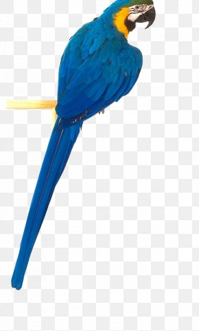 Blue Parrot Image, Free Download - Parrots Of New Guinea Graphics Software PNG