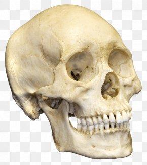 Skull - Human Skull Human Skeleton Bone Anatomy PNG