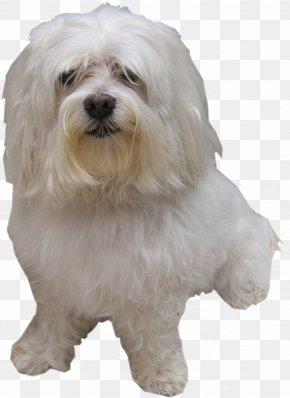 Amour - Maltese Dog Little Lion Dog Bolognese Dog Coton De Tulear Havanese Dog PNG