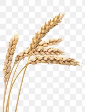 Wheat - Ketenciler Wheat Grain Cereal PNG