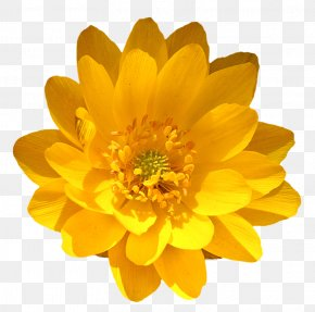 Marigold - Marigold Flower Stock Photography Royalty-free PNG