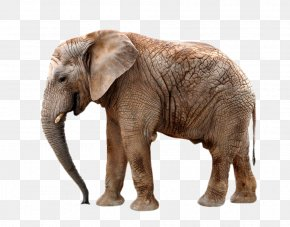 Hanging Elephant Nose - Okapi African Elephant Northern Giraffe Rhinoceros PNG