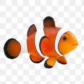 Maroon Clownfish Animal Mojo Fun 387090 Clown Fish PNG