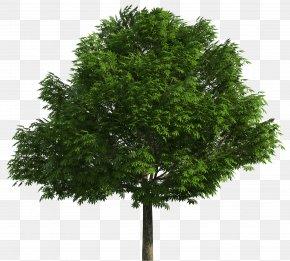 Trees - Australian Native Trees Drawing Clip Art PNG