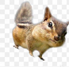 Squirrel - Chipmunk Fox Squirrel Whiskers Fur PNG