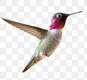 Small Hummingbird - Allen's Hummingbird Bird Feeder Feather PNG