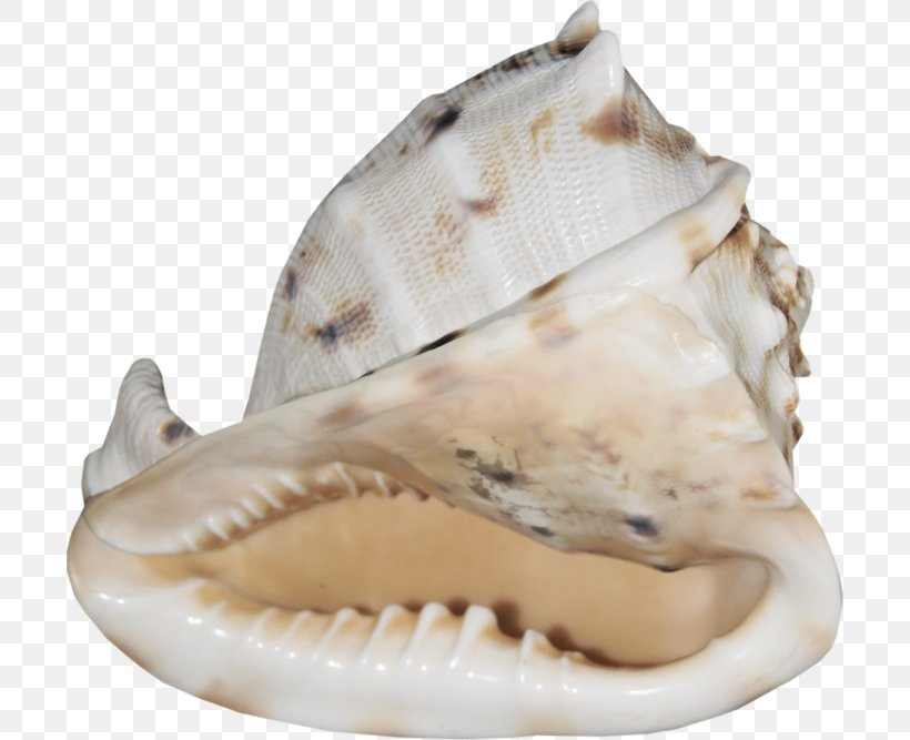 Seashell Cockle Mollusc Shell Conchology, PNG, 700x667px, Seashell, Anthology, Clam, Clams Oysters Mussels And Scallops, Cockle Download Free
