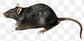 Rat Transparent - Brown Rat Black Rat Mouse Rodent Murids PNG