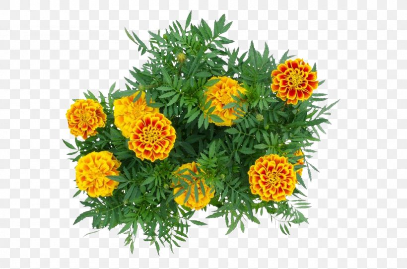 Mexican Marigold Calendula Officinalis Flower, PNG, 1000x662px, Mexican Marigold, Annual Plant, Calendula, Calendula Officinalis, Chrysanthemum Download Free