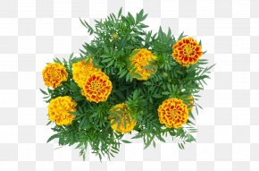 Marigold Flower - Mexican Marigold Calendula Officinalis Flower PNG