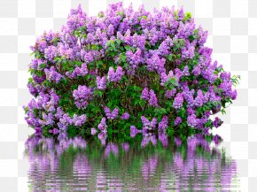 Lilac Watercolor Flowers - Common Lilac Shrub Pruning Cutting PNG