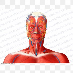 Head And Neck Anatomy Human Body Anterior Triangle Of The Neck Muscle PNG