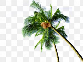 Coconut Tree - Coconut Tree Download PNG