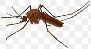 Mosquito - Mosquito Fly PNG