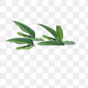 Leaf - Leaf Green Tree PNG