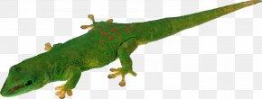 Lizard - Lizard Common Iguanas Reptile PNG