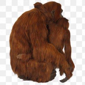 Bornean Orangutan - Orangutan Chimpanzee Gorilla Primate PNG