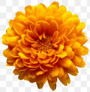 Orange Chrysanthemum Flower Transparent Clip Art Image - Marriage Make Up Chrysanthemum Flower Clip Art PNG