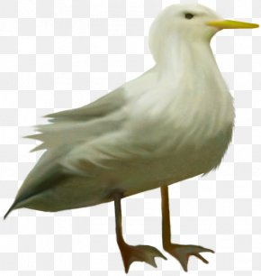 Bird - European Herring Gull Bird Animal Clip Art PNG