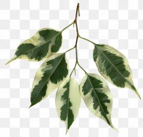 Banana Leaves - Weeping Fig Fiddle-leaf Fig Variegation Plant Stem PNG
