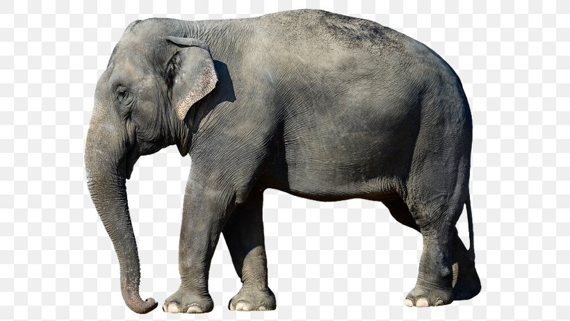 African Bush Elephant Asian Elephant Desktop Wallpaper African Forest Elephant Png 600x462px African Bush Elephant African Thousands of new elephant png image resources are added every day. african bush elephant asian elephant