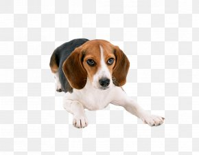 Lovely Large Dogs - Beagle Basset Hound Puppy Cat Dog Breed PNG
