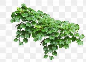 Plants - Common Ivy Vine Plant PNG