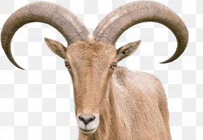 Goat - Sheep–goat Hybrid Barbary Sheep Horn PNG
