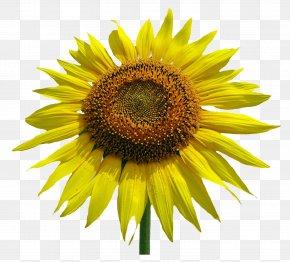 Sunflower Flower - Common Sunflower Stock Photography Clip Art PNG