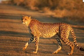 Cheetah - Cheetah Felinae Wikipedia Big Cat Fastest Animals PNG