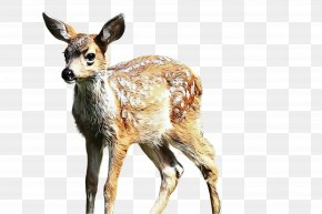 Hunting Decoy Fawn - Deer Wildlife Roe Deer Terrestrial Animal Musk Deer PNG