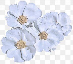 Blossom Wildflower - Petal White Flower Plant Cut Flowers PNG