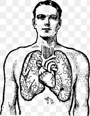 Small Lungs Cliparts - Lung Human Body Heart Clip Art PNG