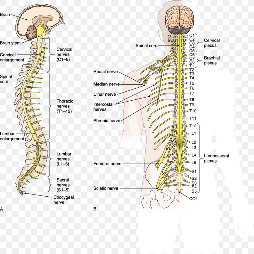 Central Nervous System Diagram Brain And Spinal Cord / A ...