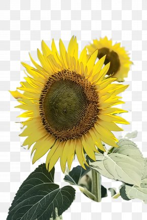Perennial Plant Wildflower - Sunflower PNG