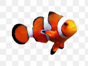 Fish - Goldfish Clownfish Aquarium Clown Loach PNG