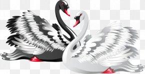 Black And White Swan - Black Swan Bird Drawing Clip Art PNG