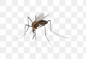 Mosquitoes Insects - Mosquito Insect PNG