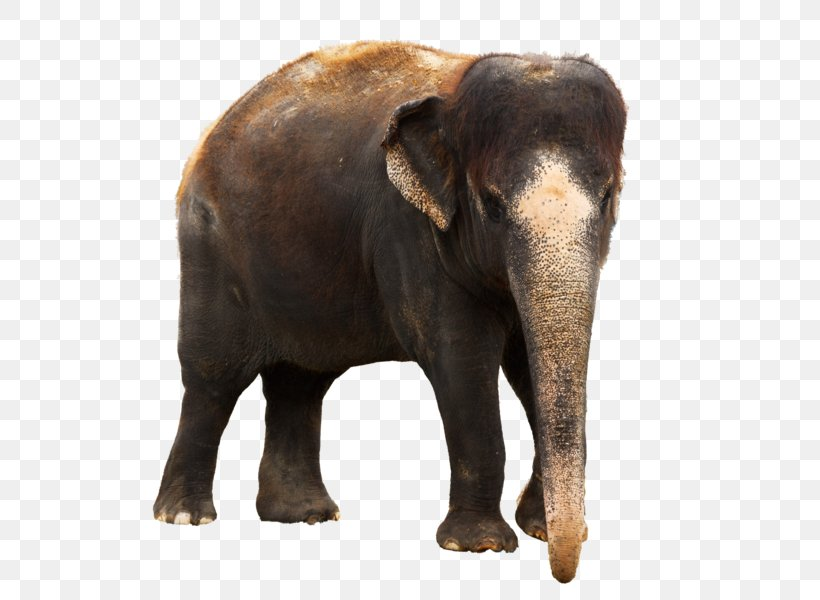 Elephant Png Photo : Free for commercial use no attribution required high quality images.