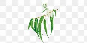 Eucalyptus Oil - Grasses Plant Stem Leaf Commodity PNG