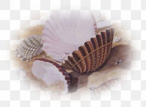Coquillage - Mollusc Shell Conchology Centerblog Fish PNG