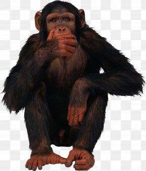 Monkey - Ape Chimpanzee Monkey PNG
