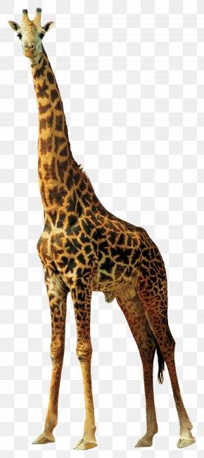 Giraffe - Africa Northern Giraffe Animal PNG