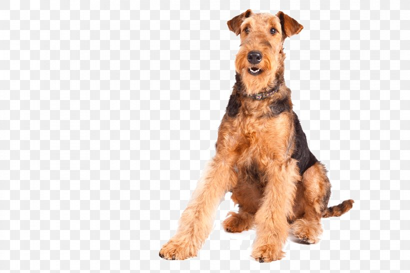 Airedale Terrier Lab Mix Puppy