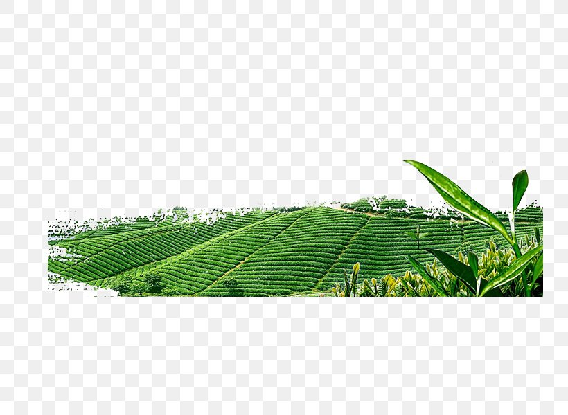 Green Tea Download Png 749x600px Tea Data Data Compression Energy Grass Download Free